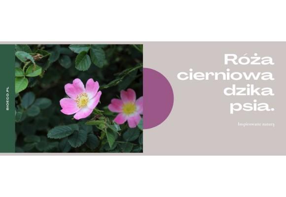 Dzika róża czyli: odporność, witaminy, owoce, przetwory i soki.