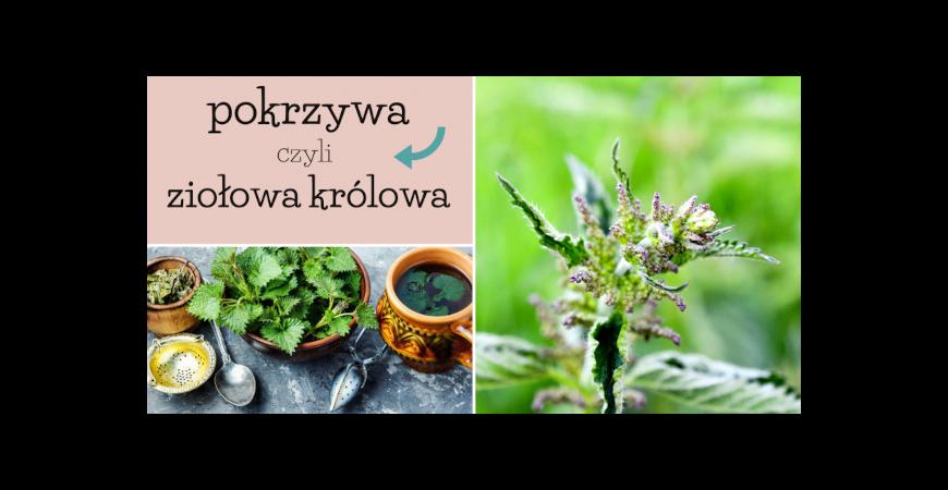 Pokrzywa w tradycji zielarskiej. Na jakie przypadłości stosuje się liście, owoce i korzeń pokrzywy?